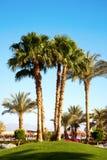 棕榈树在庭院里 库存照片