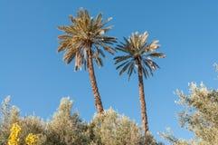 棕榈树在摩洛哥 免版税图库摄影