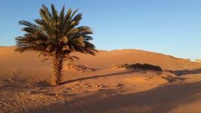 棕榈树在撒哈拉大沙漠 免版税图库摄影