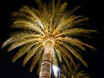 棕榈树在晚上由聚光灯从下面点燃了 库存图片