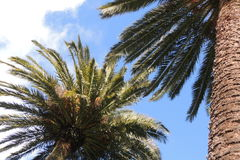 棕榈树在晴天 库存照片