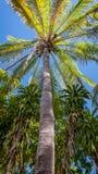 棕榈树在澳大利亚北方领土 免版税库存照片