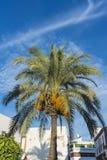 棕榈树在科多巴,西班牙 库存图片