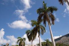 棕榈树在Parque中央,哈瓦那古巴 免版税库存图片