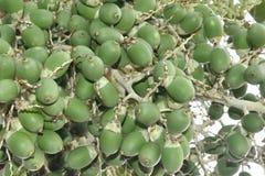 棕榈树坚果  免版税库存照片