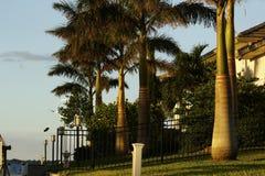 棕榈树大道修饰的吠声 免版税库存照片