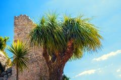 棕榈树对老被破坏的墙壁 库存图片