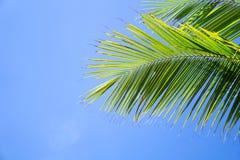 棕榈树或椰子生叶反对天空蔚蓝 免版税库存照片