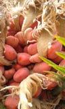 棕榈树果子 免版税库存图片