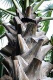 棕榈树树干在泰国 库存照片