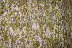 棕榈树树干的抽象纹理有生苔背景 图库摄影