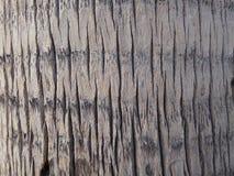 棕榈树树干纹理 免版税库存照片