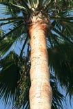 棕榈树树干 免版税图库摄影