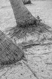 棕榈树根  图库摄影