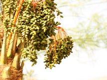 棕榈树用日期果子 免版税图库摄影