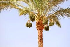 棕榈树用日期果子 免版税库存照片