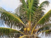 棕榈树用椰子 图库摄影