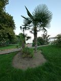 棕榈树的构成在一条道路附近的反对清楚的天空背景  免版税库存照片