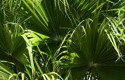 棕榈树的绿色叶子在中心成螺旋形与白色中部 片段特写镜头  免版税库存照片