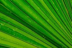 棕榈树绿色叶子,背景 免版税库存照片