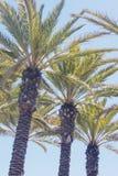 棕榈树行 免版税库存图片