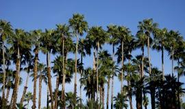 棕榈树行 库存照片