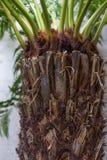 棕榈树褐色的树干关闭与绿色叶子 免版税库存图片