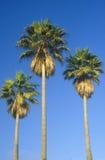 棕榈树,洛杉矶,加州 免版税库存图片