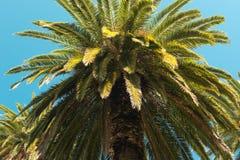 棕榈树-反对美丽的蓝天的完善的棕榈树 免版税库存照片