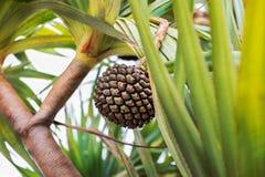 棕榈树-圣克鲁斯de特内里费岛,加那利群岛 免版税库存图片