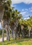 棕榈树-完善的棕榈树 免版税库存图片
