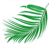 棕榈树绿色叶子  免版税库存照片