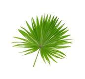 棕榈树绿色叶子  免版税图库摄影