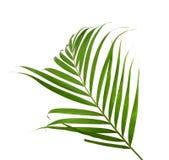 棕榈树绿色叶子  免版税库存图片