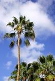 棕榈树 图库摄影