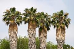 棕榈树 免版税库存照片