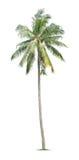 年轻棕榈树 免版税库存照片