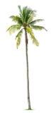 年轻棕榈树 免版税图库摄影