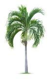 年轻棕榈树 库存照片