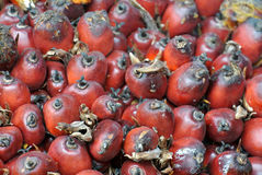 棕榈油果子束特写镜头视图  免版税库存图片