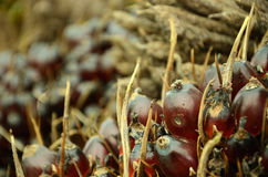 棕榈油果子 免版税库存照片