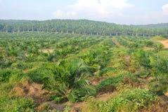 棕榈油树在棕榈油庄园种植园 图库摄影