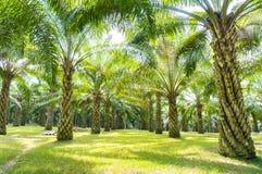 棕榈油树 免版税库存照片