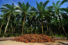 棕榈油生产在马来西亚 库存图片