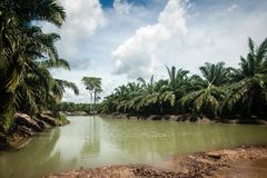 棕榈油种植园 免版税图库摄影