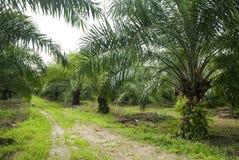 棕榈油种植园 免版税库存照片