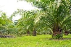 棕榈油结构树 库存照片