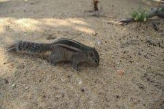 棕榈灰鼠在斯里兰卡 库存图片