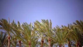 棕榈的叶子在风,从明亮的太阳的强光增长 关闭 影视素材