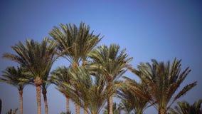棕榈的叶子在风,从明亮的太阳的强光增长 关闭 股票视频